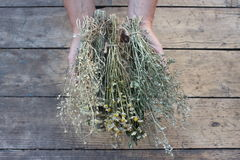 Dry grass in women's hands Stock Photos