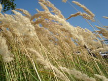 Dry grass. Yellow dry grass on a background of blue sky Royalty Free Stock Photos