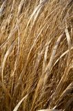 Dry Grasses Royalty Free Stock Photography