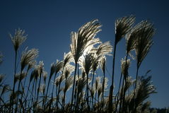 Dry grasses & blue sky Royalty Free Stock Photography