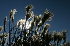 Dry grasses & blue sky Royalty Free Stock Photos