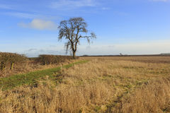 Dry grasses hedgerows and an ash tree in a winter landscape Royalty Free Stock Images