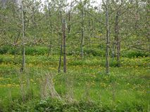 Dry grasses and weeds in the foreground,apple trees flowering, tied to poles, into meadow with flowering dandelion, detailed view. Of an apple tree plantation stock images