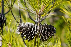 Dry pine cone on a pine tree in the wild royalty free stock image