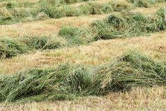 Dry bevelled hay. Dry and green bevelled hay royalty free stock photography