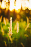 Dry Green Grass Field In Sunset Sunlight. Beautiful Yellow Sunri Stock Photo