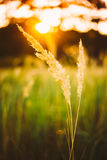 Dry Green Grass In Sunset Sunlight. Beautiful Yellow Sunrise Lig. Ht Over Meadow. Late Summer Or Early Autumn stock images