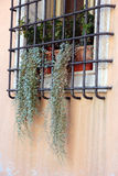 Dry green hanging plants on the window. Hanging out through the iron bars on the window, Ravenna, Italy Royalty Free Stock Photos