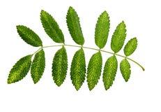 Dry green leaf rowanberry Stock Photo
