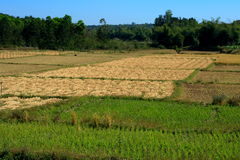 Dry and green paddy field Stock Images