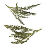 Dry green pressed leaf of fern isolated pressed fleecy leaves on Royalty Free Stock Image