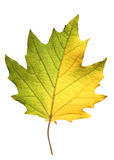 Dry green with yellow leaf. Isolated on white Royalty Free Stock Photography