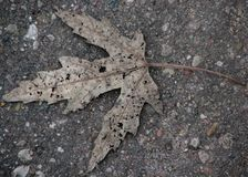 Dry grey canadian maple leaf on grey ground background close up. Dry grey canadian maple leaf lonely laying on grey ground background close up view Stock Photography