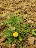 Dry ground of cracked and crushed clay with last green dandelion Royalty Free Stock Photos