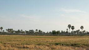 Dry harvested rice field Stock Photo