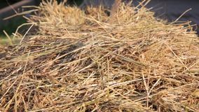 Dry hay is sprinkled with water stock video footage