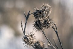 Dry heads of thistle peeking out of the icy snow Royalty Free Stock Photos