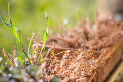 Dry heather in flowerpot outside lit with gold sun rays Stock Images