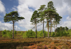 Dry Heathland with Scots Pines Stock Images