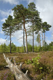 Dry Heathland with Scots Pines Trees Royalty Free Stock Photos