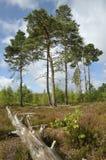 Dry Heathland with Scots Pines Trees. Pinus sylvestris , Thursley Common NNR, Surrey Royalty Free Stock Photos
