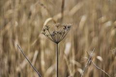 Dry hogweed blomman Royaltyfri Fotografi