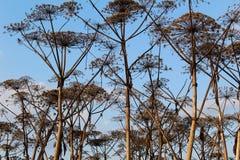 Dry Hogweed on blue sky background. royalty free stock image
