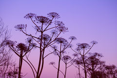 Dry hogweed flowers at sunset Stock Images