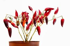 Dry home plant - red peppers. Plant without leaves. royalty free stock photography