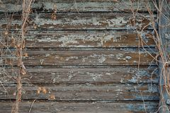 Dry hops on old painted ragged blue wooden wall background Royalty Free Stock Images
