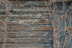 Dry hops on old painted ragged blue wooden wall background Royalty Free Stock Photo