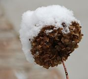 Dry hydrangea flower  during harsh winter Royalty Free Stock Image