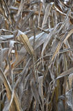 Dry indian corn field Stock Photography