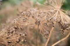 Dry inflorescences of dill brown umbrellas. Dry branches of umbrellas with dill changes close-up of brown color Stock Photos