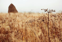 Dry inflorescences in fog of morning meadow Royalty Free Stock Photo