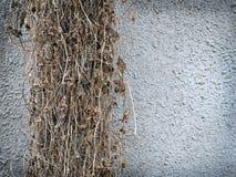 Dry ivy background Stock Photo