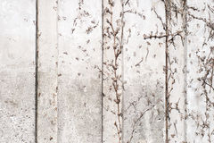 Dry ivy branches integrated onto a concrete wall Royalty Free Stock Photography
