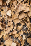 Dry ivy leaves Royalty Free Stock Photography