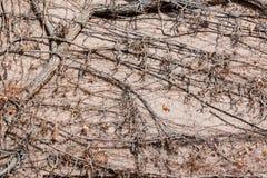 Dry ivy liana on the wall Stock Photography