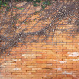 Dry ivy on the  wall Royalty Free Stock Photography