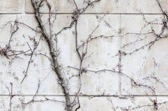 Dry ivy on white brick wall in autumn season. Stock Photos