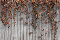 Dry ivy on wooden fence. Royalty Free Stock Photography