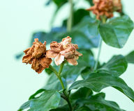 Dry Jasmine flower on tree Stock Photography