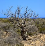 Dry juniper tree on Chrissi island, sea view, protected area, Greece stock image
