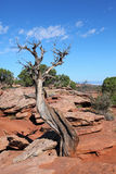 Plants & Tree. Dry Juniper Tree in Colorado National Monument royalty free stock image