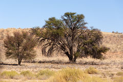 Dry kalahari desert landscape, Kgalagady, South Africa safari wilderness Royalty Free Stock Images