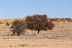Dry kalahari desert landscape, Kgalagady, South Africa safari wilderness Stock Photos