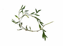 Dry knotweed grass isolated royalty free stock photography