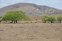 Dry lands with some cows and trees New Caledonia. Dry lands with some cows and trees, Boulouparis, New Caledonia, south Pacific royalty free stock image