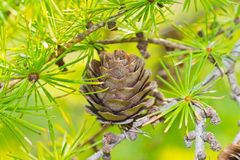 Dry larch cone and needles Royalty Free Stock Image
